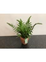 Small fern in pot 10x25cm