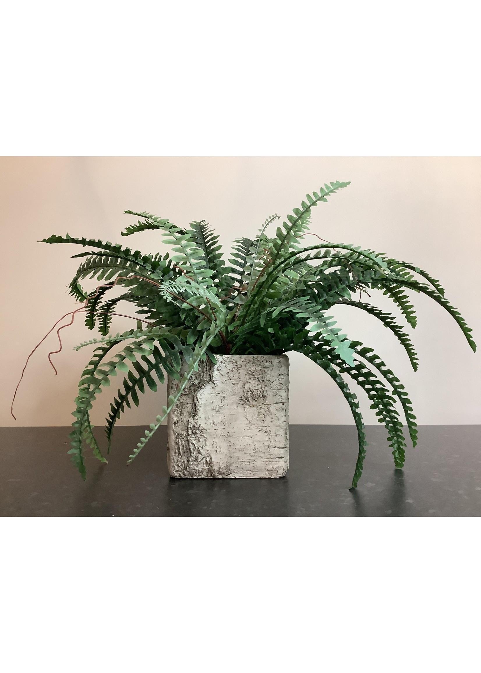 Boston fern in square pot
