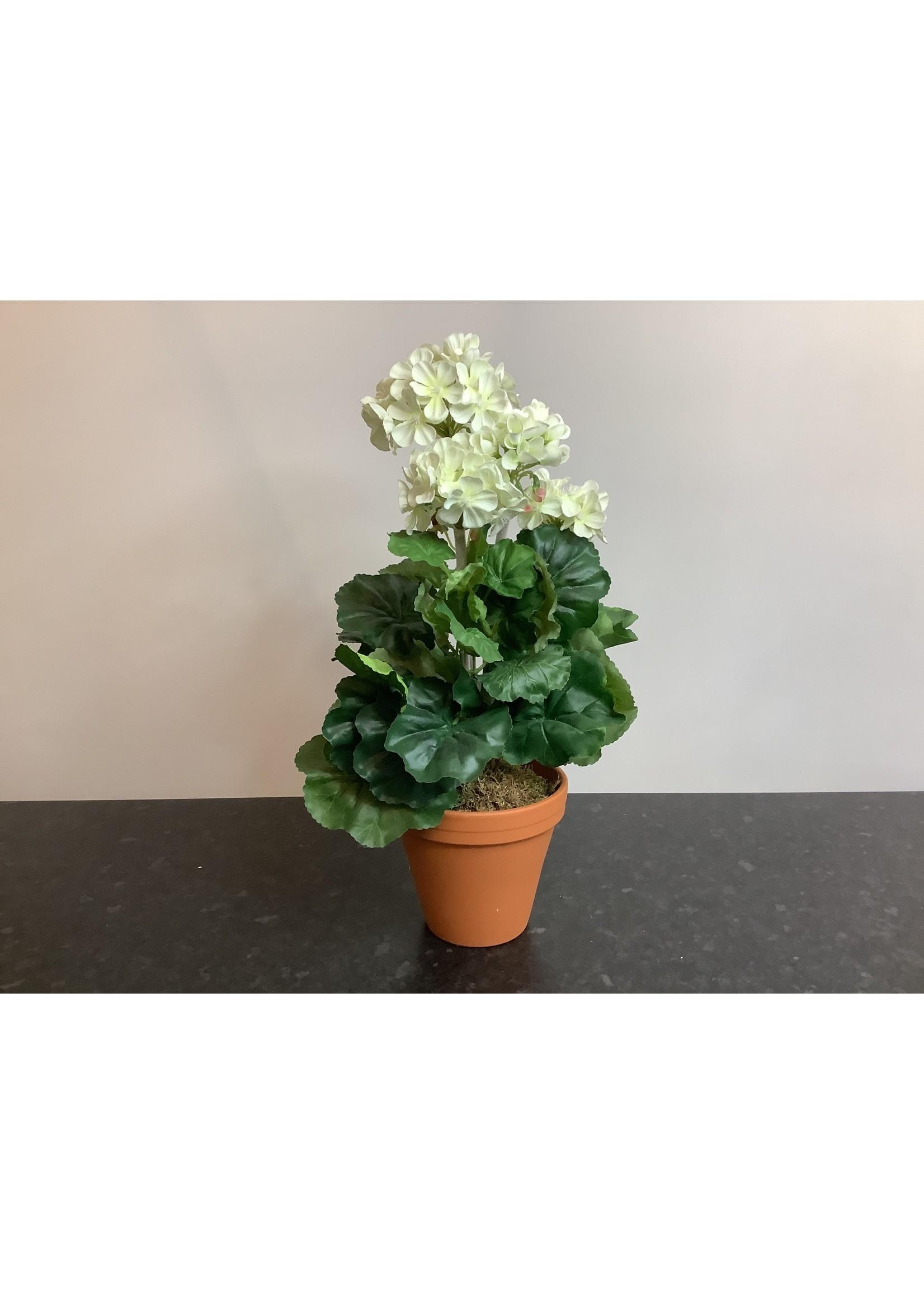 Geranium in pot 46cm tall
