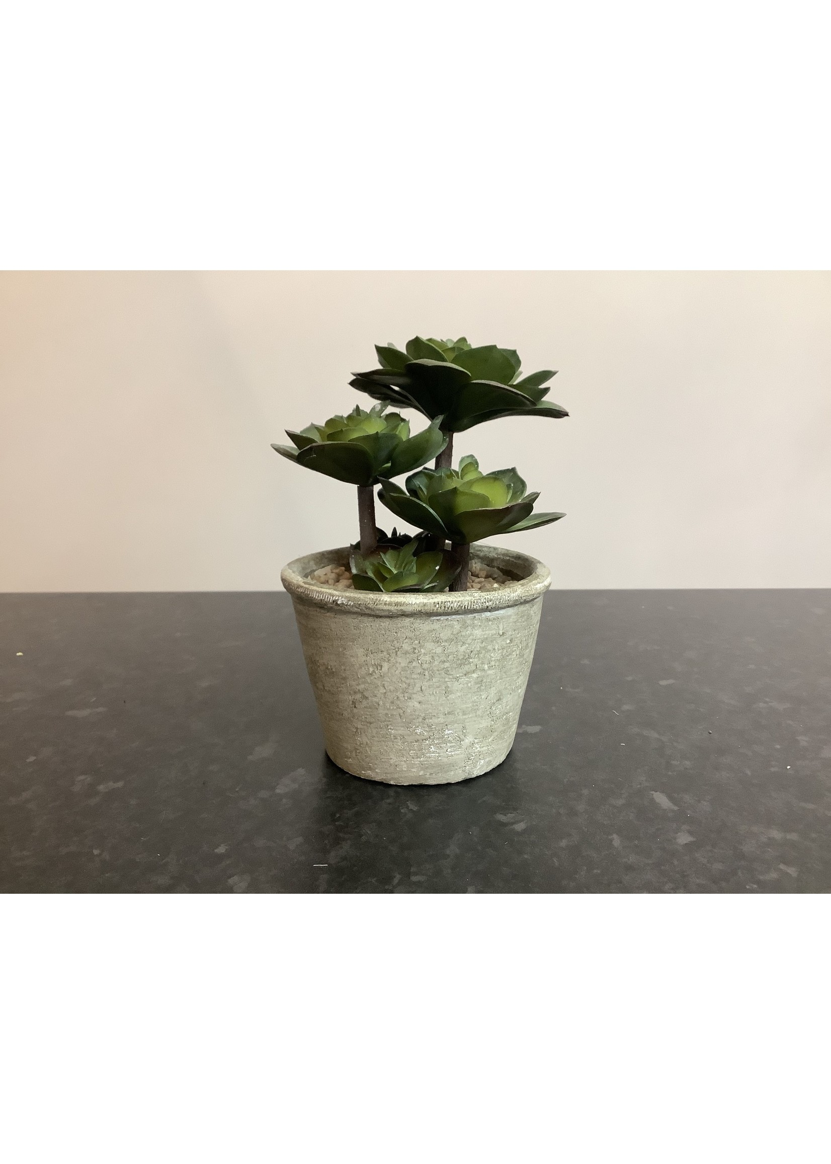 Succulent in small pot 18cm tall