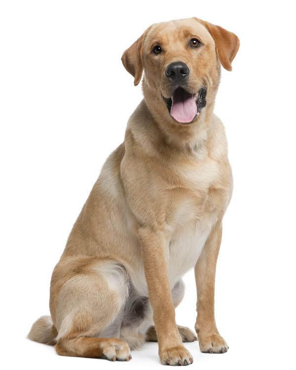 Bench Labrador