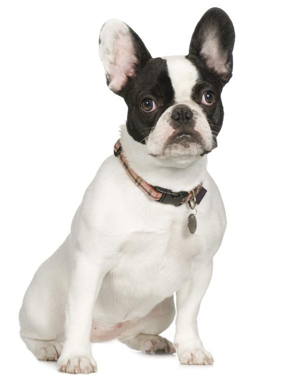 Bench Franse Bulldog