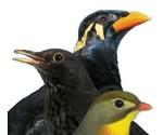 Fruchte- und insektenfressende Vogel