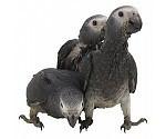 Mous et nourriture d'élevage Perroquets