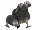 Soft / Rearing food Parrots