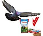 Pigeons de race