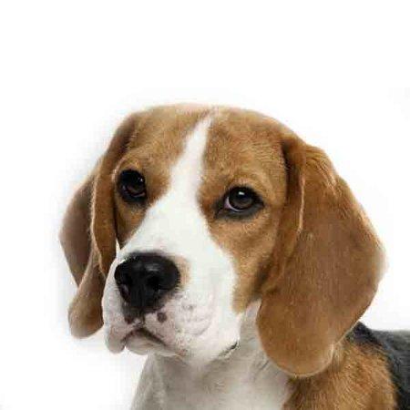 Yourdog Beagle