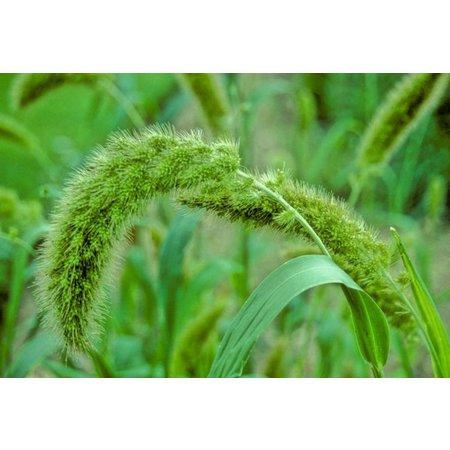 French Millet sprays Yellow (1 kg)