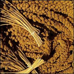 Gappe de millet Jaune (1 kg)
