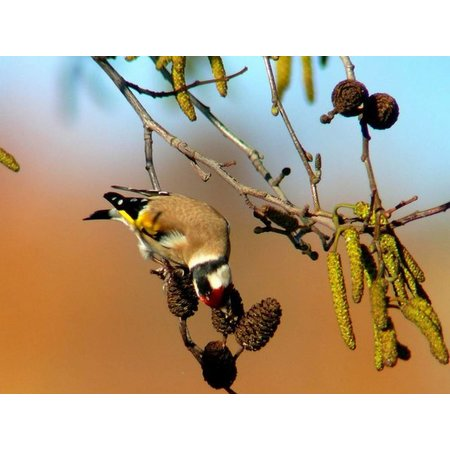 Koenings European Goldfinch-Siskin no.3 (5 kg)