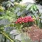 Harar Coffee Forestry Kaffee