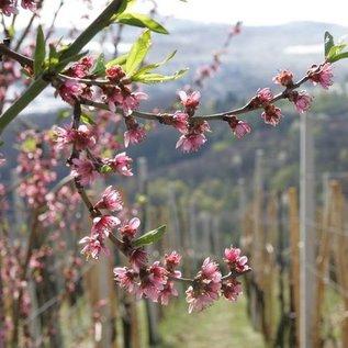 Fructal Perziksap - Sok od Breskve