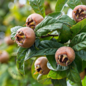 FOODbazar Mispeln (Früchte)