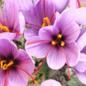 Melal Saffron, Organic Land Safran