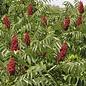 Yaffa Sumac, Sourwort - berries