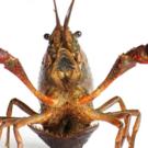 Crayfish, Polder lobster