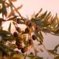 Azienda Olearia del Chianti Biologische Extra Vergine Olijfolie