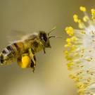 Excential Pollen (fresh)