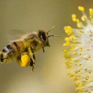 Excential Pollen (frisch)