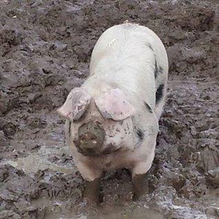 Pigs Wang