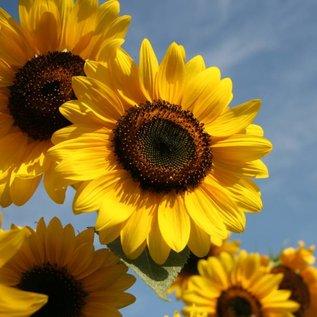 Ölmühle Solling Sonnenblumenöl