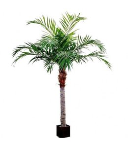 Majesty Palm Giant 350cm