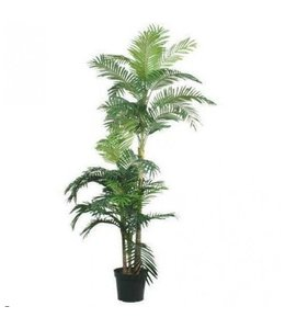 Golden Cane Areca Palm x3 180cm