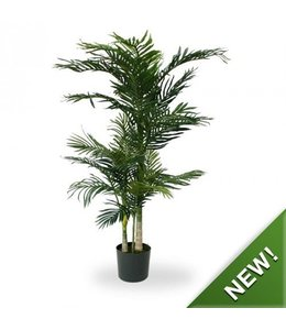 Golden Cane Areca Palm x3 140 cm
