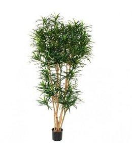 Draceana Reflexa XL groen 190cm