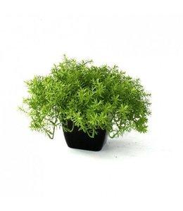 Senecio vetplant 30cm in pot
