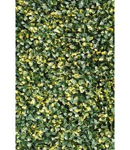 Buxus Sempervirens Fijn Bont 50 x 50 cm