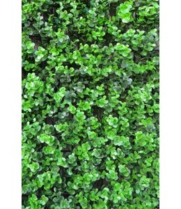 Buxus Sempervirens Grof Donker