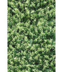 Conifeer Chamaecyparis Plumosa Bont 50 x 50 cm