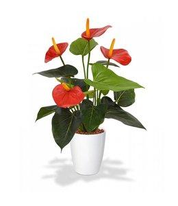 Anthurium 40 cm rood in 10 cm kweekpot