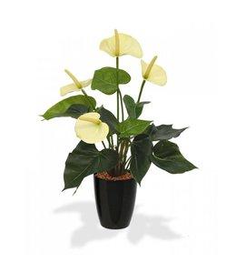 Anthurium 40 cm crème in 10 cm kweekpot