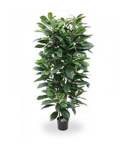 Ficus Cyathistipula 160cm Deluxe