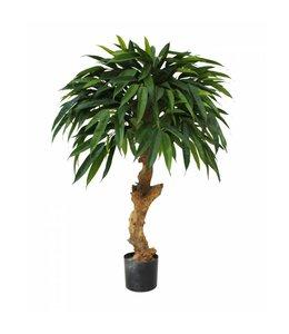 Longifolia Royal 90cm op stam