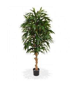 Longifolia Royal Deluxe 165 cm