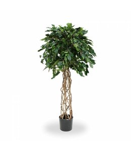 Ficus Exotica OS bol 150cm