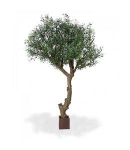 Olijfboom Giant 300 cm Y stam