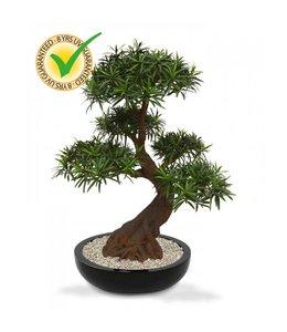 Podocarpus Bonsai x5 90 cm UV