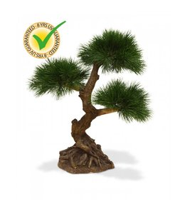 Pinus Bonsai x3 60 cm UV