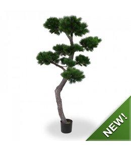 Pinus Bonsai XL 200 cm