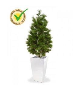 Pinus Deluxe 160 cm UV