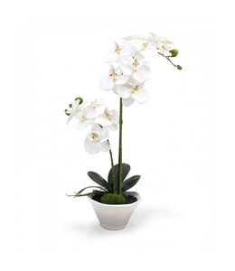 Phalaenopsis Orchidee 50 cm x2 in schaal