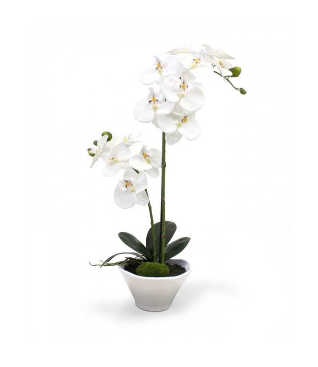 Phalaenopsis Orchidee 50 cm x2 in schaal