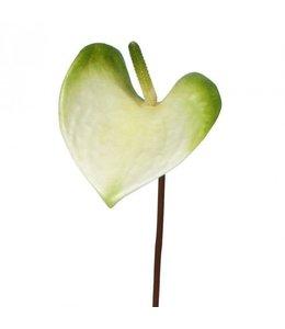Anthurium S 50 cm wit-groen
