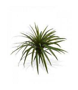 Draceana Marginata boeket 50 cm
