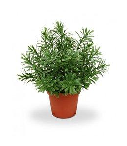 Crossostephium vetplant 28 cm in plastic pot