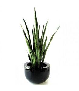Sanseveria XL 100cm